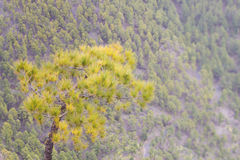 Canarian Pine Tree Forest. Canarian pine tree in front of a volcanic forest, in la palma Stock Images