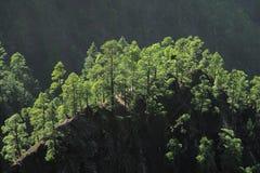 Canarian pine tree on La Palma. Canarian pine tree on volcano mountains in Caldeira de Taburiente, La Palma stock image