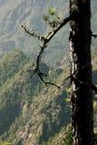 Canarian pine tree on La Palma. Canarian pine tree on volcano mountains in Caldeira de Taburiente, La Palma royalty free stock image