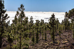 Canarian pines in the clouds Royalty Free Stock Photo
