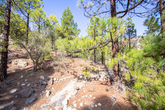 Canarian pines Royalty Free Stock Image