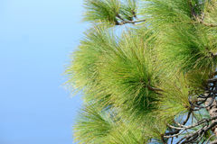 Canarian pinetree Stock Image