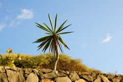 Canarian plant Royalty Free Stock Images