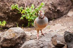 The Canarian red-legged partridge Stock Photo