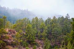 Canarian sörjer, pinuscanariensisen i Corona Forestal Nature Arkivbild