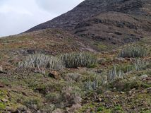 A Canarian thistle in the mountains of the Jandia nature park. A Canarian thistle or Euphorbia canariense on the peninsula Jandia of the Canary Island Stock Photo