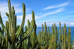 Canarias Spurge por el mar Foto de archivo