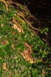 常春藤属canariensis 克里米亚 库存图片