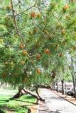 Canariensis del pinus, pino canario, Fotografía de archivo