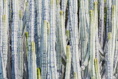 Canariensis dell'euforbia Fotografie Stock