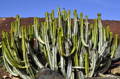 Canariensis dell'euforbia di cactus Immagini Stock Libere da Diritti