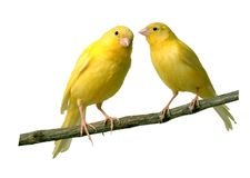 Canaries. Talking to each other Royalty Free Stock Photo