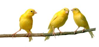 Canaries. Two canaries communicating to each other while a third is listening Royalty Free Stock Photos