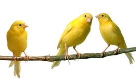 Canaries. Two canaries communicating to each other while a third is listening Royalty Free Stock Photography