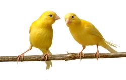 Canaries. A canary listen to a partner Stock Images