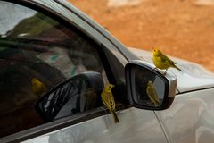 Canaries land in a car mirror, apparently admiring their own beauty in the reflection.. Canaries land car mirror apparently admiring their own beauty royalty free stock images