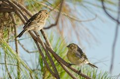 Canaries Stock Photography