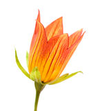 Canarina canariensis Stock Image