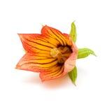 Canarina canariensis Royalty Free Stock Images