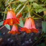 Canarina-canariensis, kanarische Glockenblume, endemisch zu den Kanarischen Inseln stockfotografie