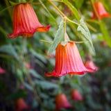 Canarina-canariensis, kanarische Glockenblume, endemisch zu den Kanarischen Inseln stockfoto