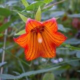 Canarina-canariensis, kanarische Glockenblume, endemisch zu den Kanarischen Inseln stockbilder