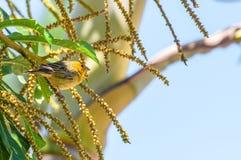 Canarinho-Vogel auf einer Niederlassung eines Baums Lizenzfreie Stockfotos