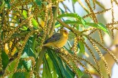 Canarinho-Vogel auf einer Niederlassung voll von Samen Stockfotos