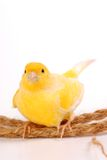 Canarino fotografie stock libere da diritti