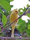 Canarino in albero Fotografia Stock Libera da Diritti