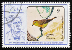 Canarino della mangrovia, ` di guundlachi di petecchia del Dendroica dell'uccello il novantesimo anniversario della morte di Juan Fotografia Stock