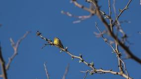 Canarino giallo fotografie stock libere da diritti