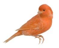 Canarino rosso, Serinus canaria, appollaiato fotografia stock libera da diritti