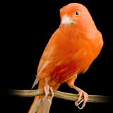 Canarino rosso sulla sua perchia immagine stock