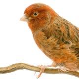 Canarino rosso sulla sua perchia Fotografia Stock Libera da Diritti