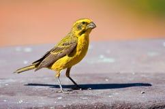 Canario amarillo Imagen de archivo libre de regalías