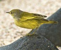 Canario de las Islas Gal3apagos Imagen de archivo libre de regalías