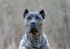 Canario di Dogo Fotografia Stock Libera da Diritti