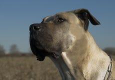 Canario di Dogo Fotografia Stock