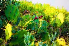 Canarische Cactus Stock Foto's
