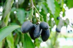 Canarium pimela (Black Myrobalan,Chebulic Myrobalan) Royalty Free Stock Images