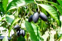 Canarium pimela (Black Myrobalan,Chebulic Myrobalan) Royalty Free Stock Image