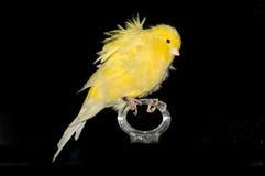 Canary Stock Photos
