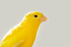 Canary. Yellow domestic canary close up stock photography