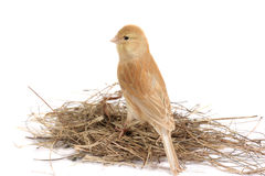 Canary. Brown canary isolated on a white background Stock Image