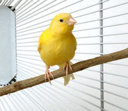 Canary. A yellow canary in his cage royalty free stock images