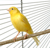 Canary. A yellow canary in his cage Stock Image