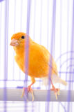 Canary Royalty Free Stock Image