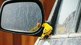 canary Στοκ Εικόνα