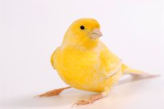 Canary Royalty Free Stock Photography